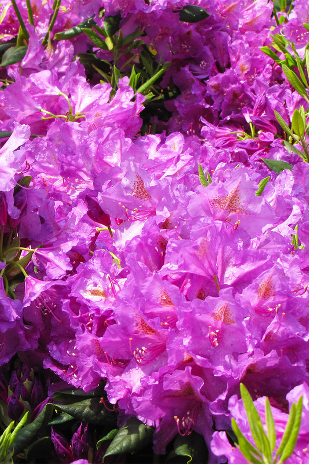 Rhododendron, Lee's Dark Purple
