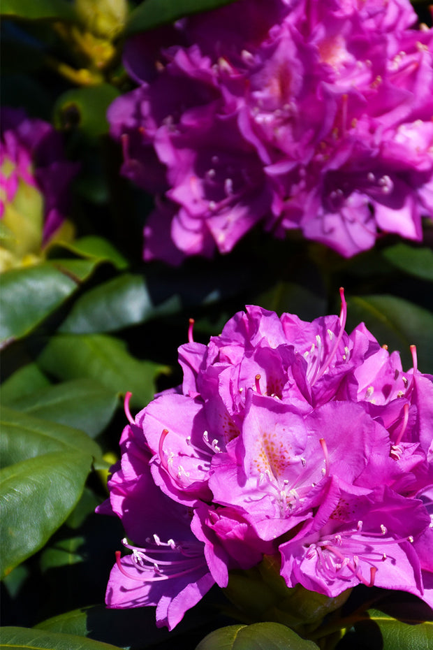 Rhododendron, Spring Dawn