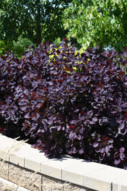 Smokebush, Royal Purple