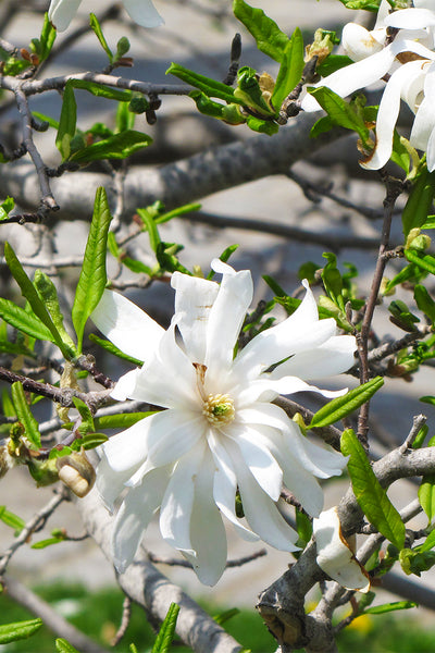 Magnolia, Royal Star