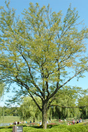 Honeylocust, Skyline