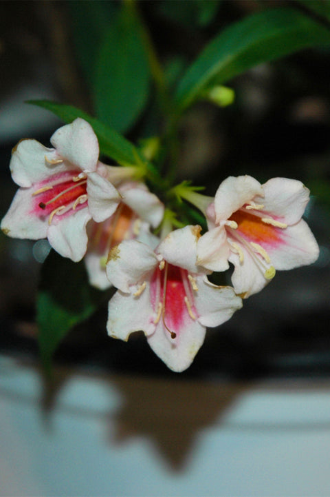 Weigela, Sonic Bloom® Pearl