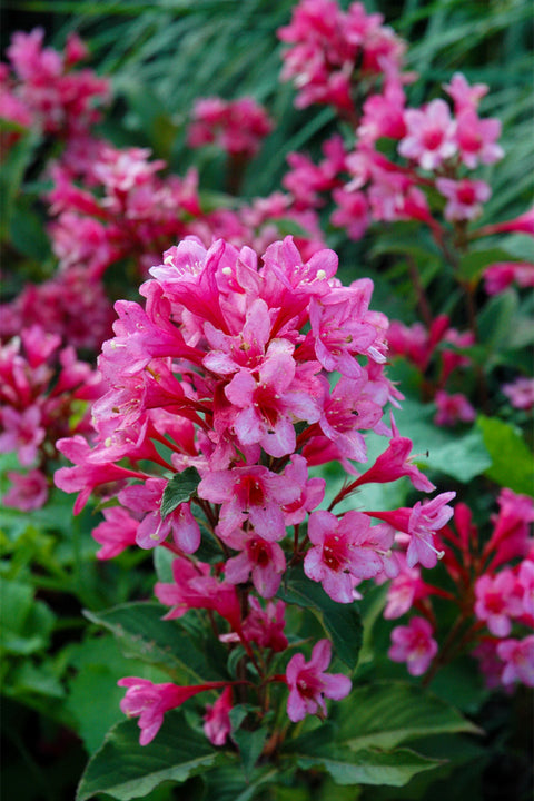 Weigela, Sonic Bloom® Pink