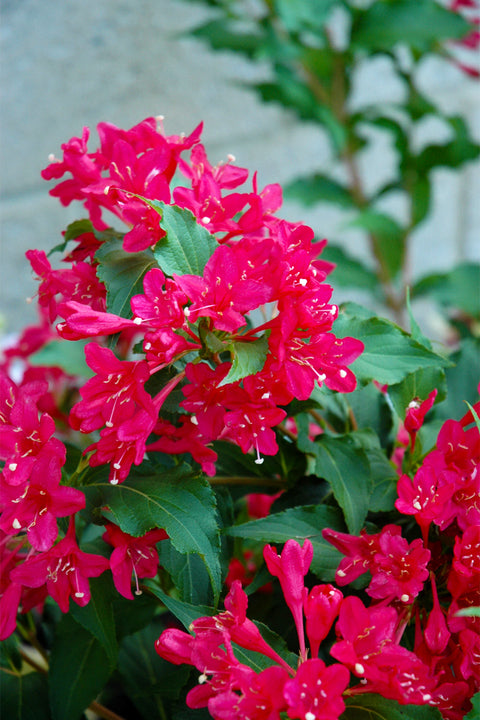 Weigela, Sonic Bloom® Red