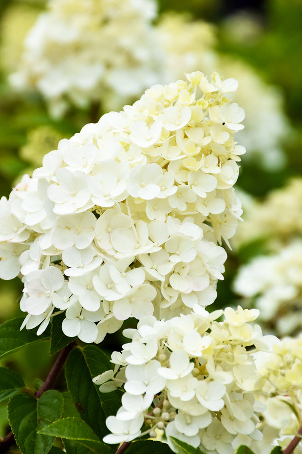 strawberry sundae hydrangea white flower