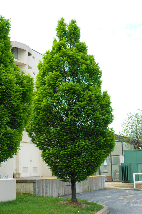 Hornbeam, Upright European