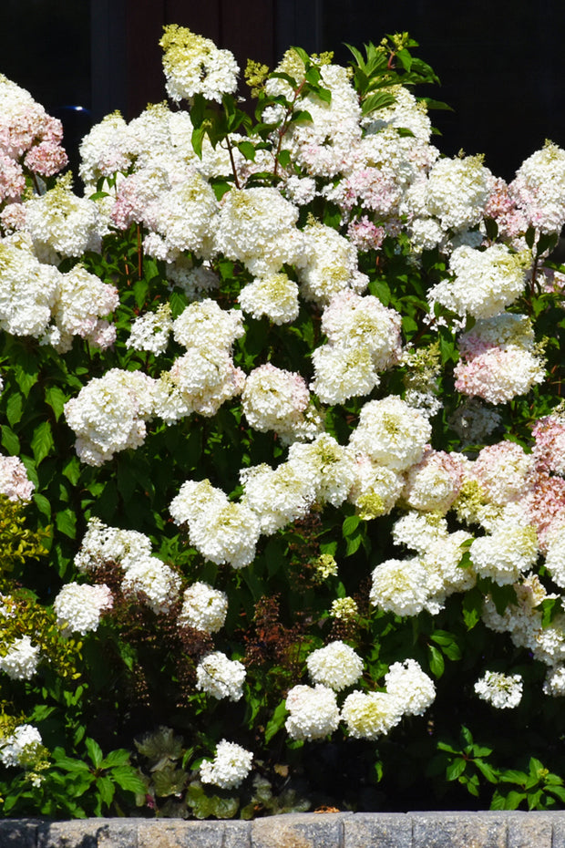 Hydrangea, Panicle-Vanilla Strawberry