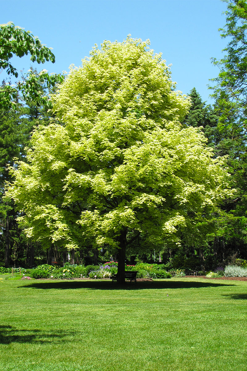Maple: Variegated Norway