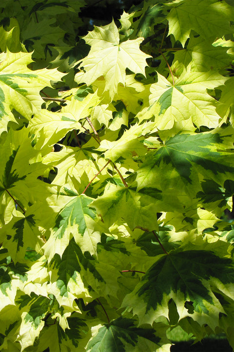 Maple, Variegated Norway