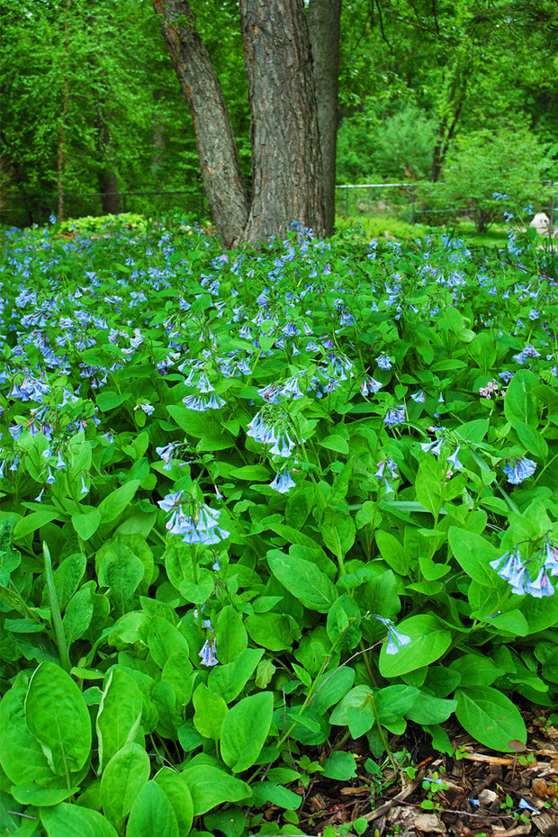 Bluebells, Virginia