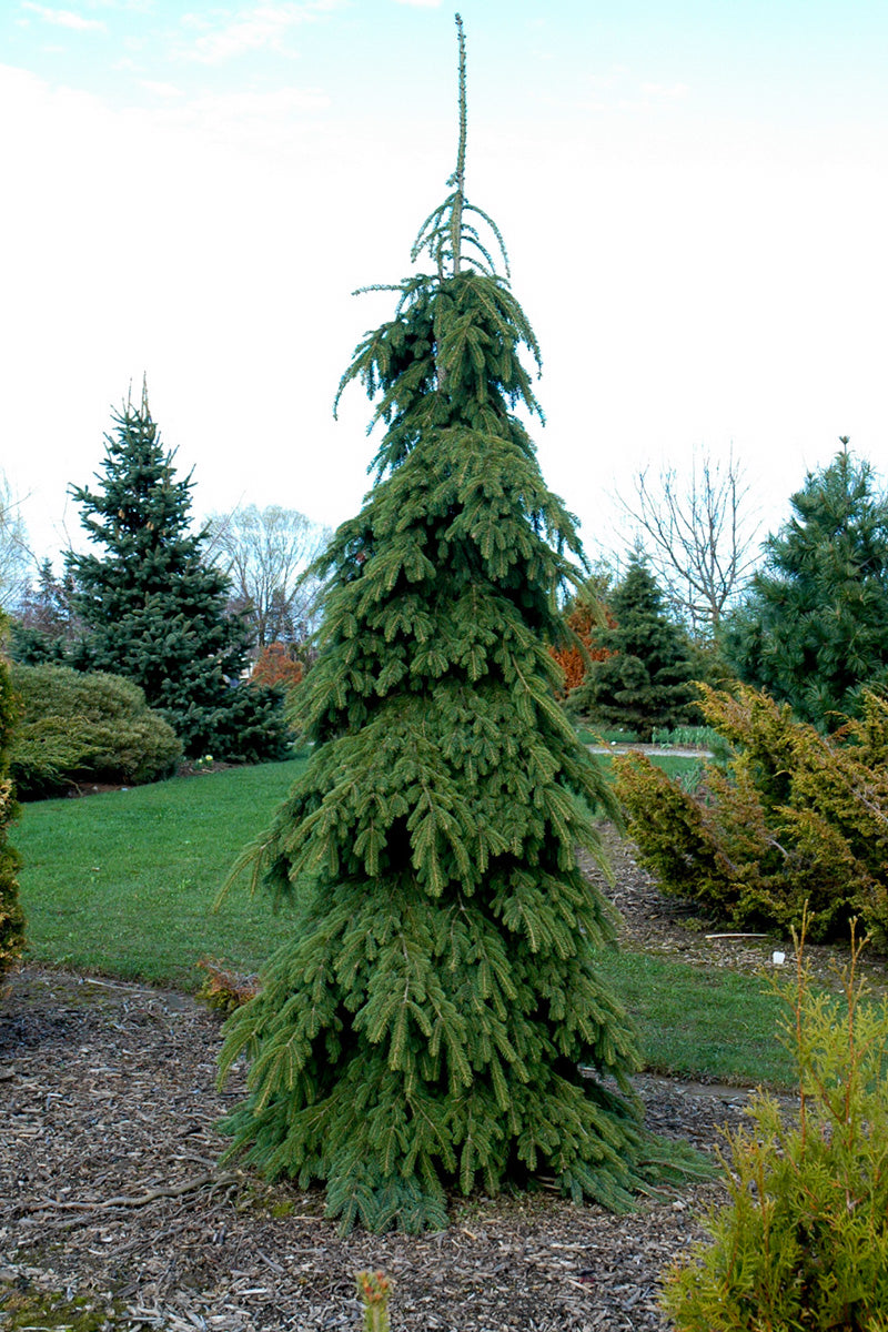 Spruce, Weeping White