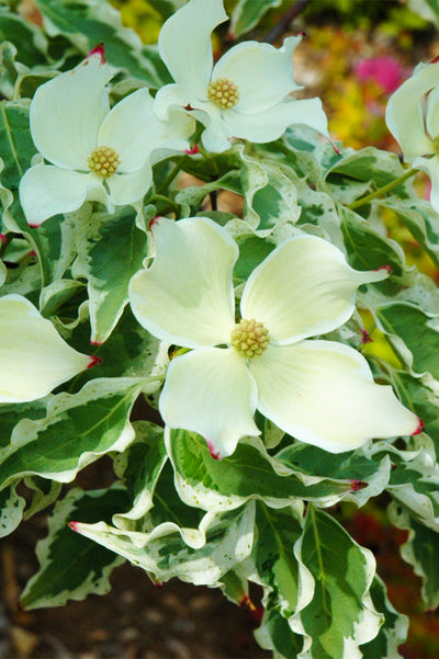 Dogwood, Wolf Eyes Chinese