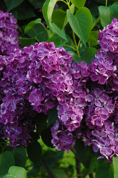Lilac, Yankee Doodle
