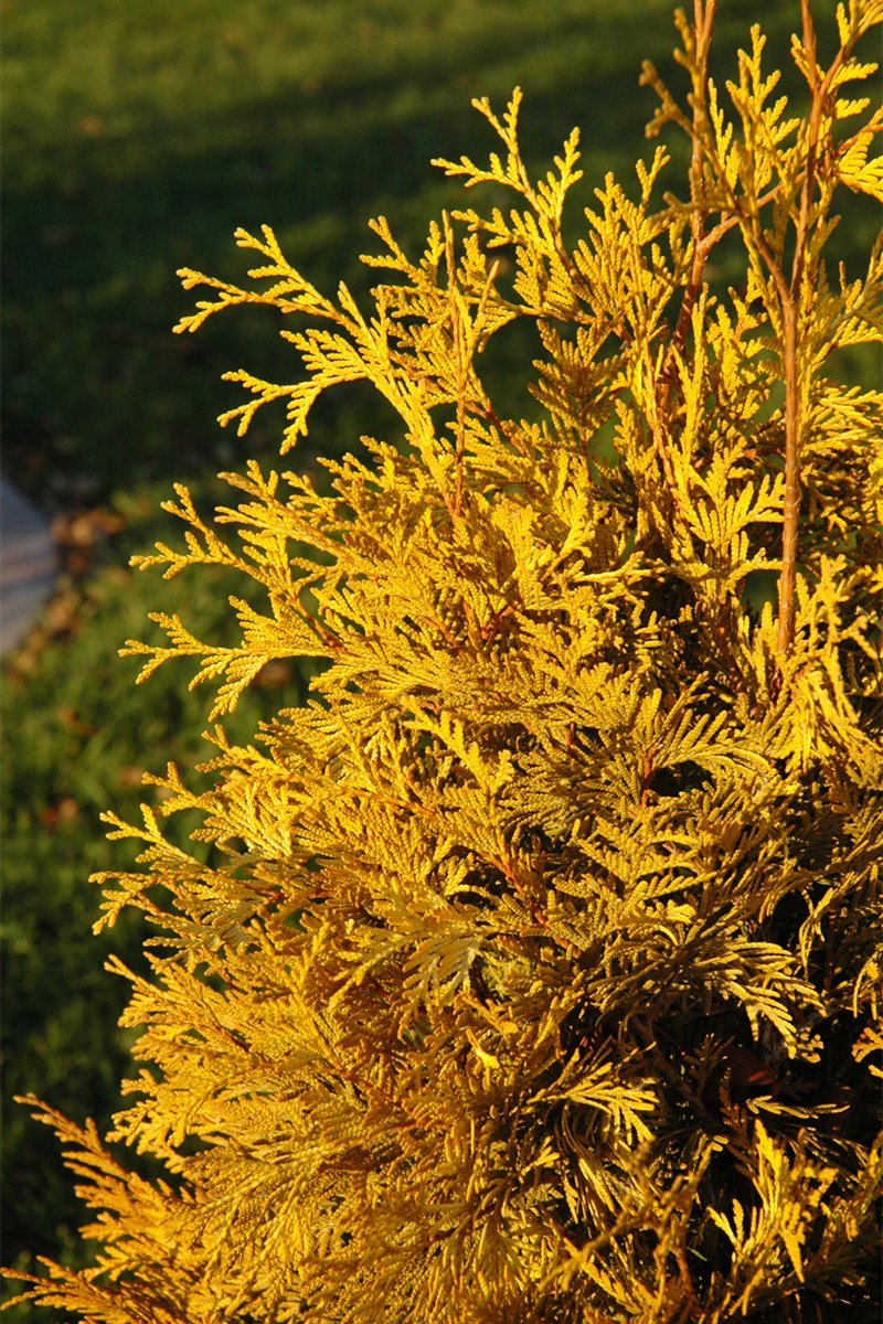 Arborvitae: Yellow Ribbon