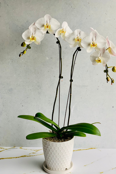 "5"" White Double Orchid in White Ceramic"