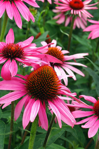 Coneflower, Pixie Meadowbrite