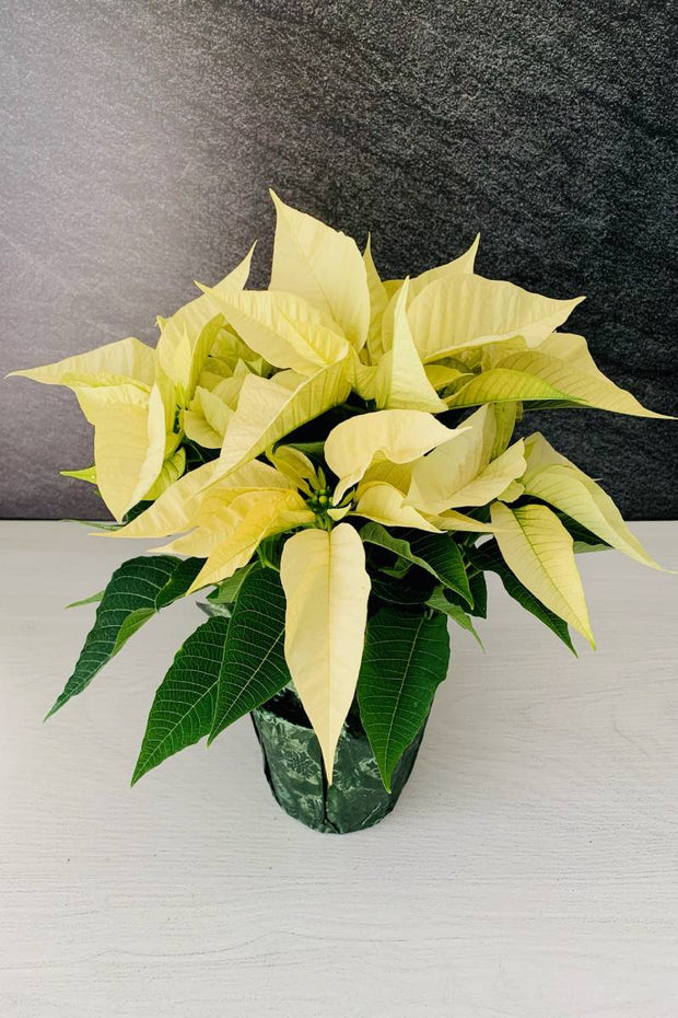 Poinsettia, White 6""