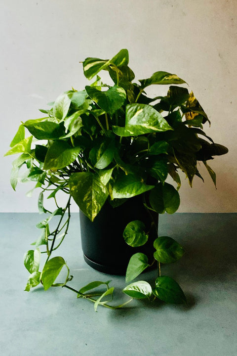 Pothos, Golden Hanging Basket 8""
