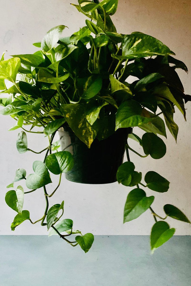 Pothos, Golden Hanging Basket 6""