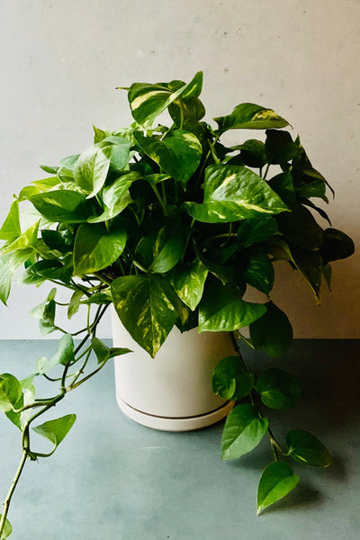 Pothos, Golden Hanging Basket 10""