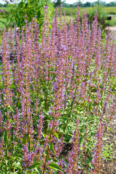Giant Hyssop, Purple Haze