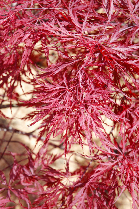 Japanese Maple, Red Dragon