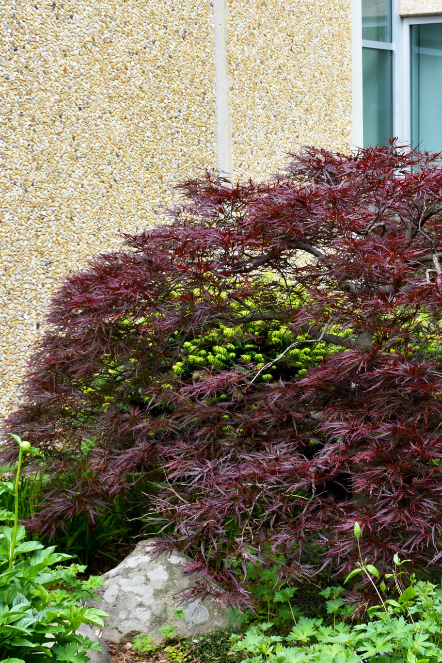Japanese Maple: Red Dragon