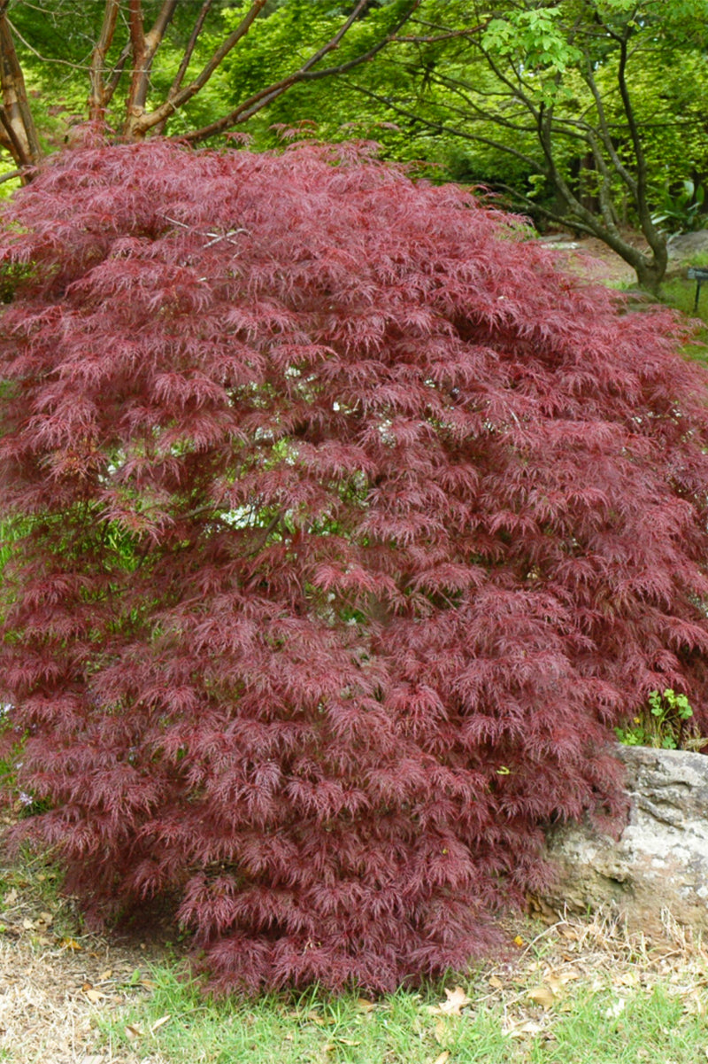 Japanese Maple, Red Filigree Lace