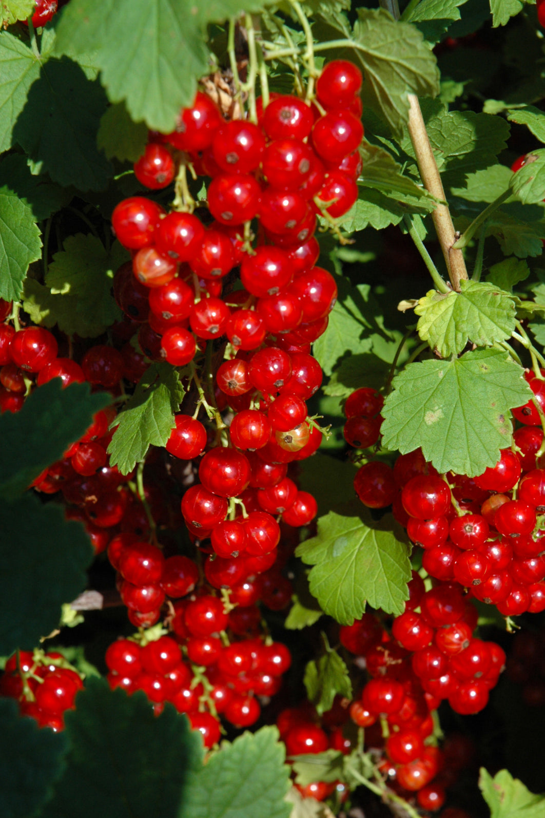 Currant: Red Lake Red