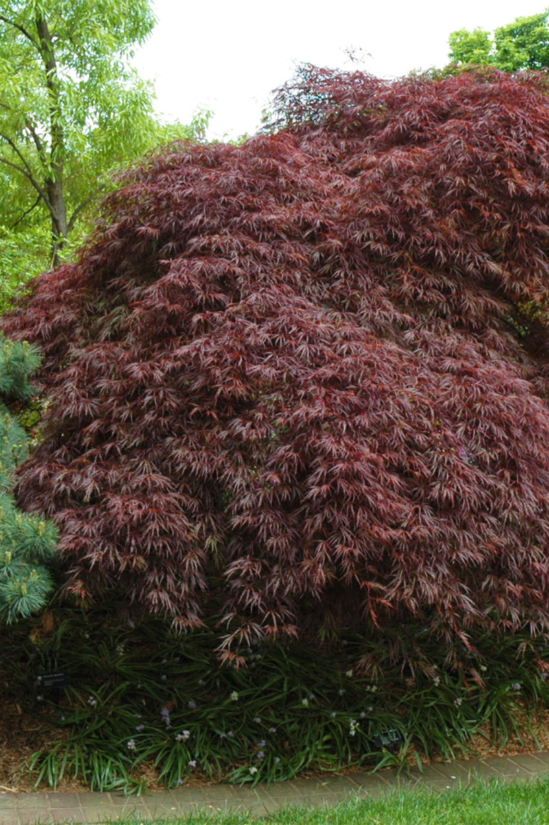 Japanese Maple, Red Select Cutleaf