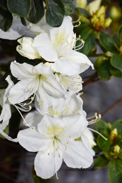 Azalea, Delaware Valley White