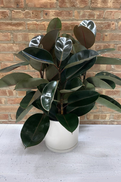 Rubber Tree 10""