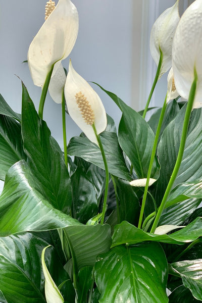 Peace Lily 10""