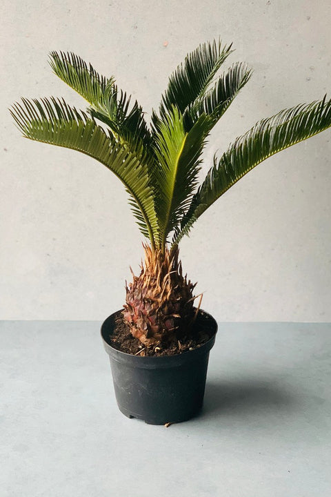 King Palm, Sago 6""