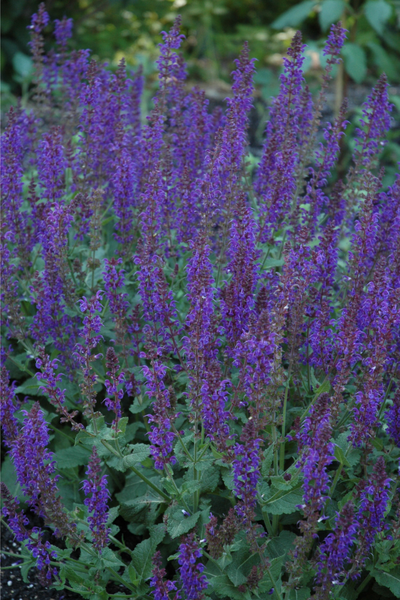 Salvia, May Night Sage