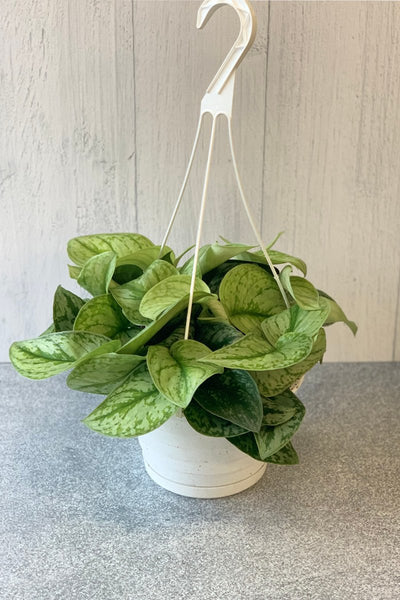 Pothos, Satin Hanging Basket 8""