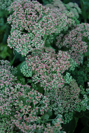 Sedum, Autumn Joy Stonecrop