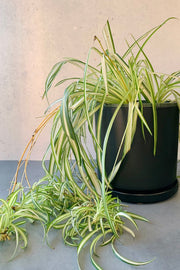 "Spider Plant 10"" Hanging Basket"
