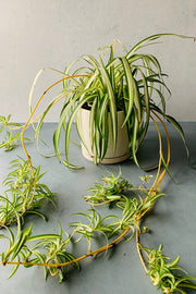 "Spider Plant 6"" Hanging Basket"