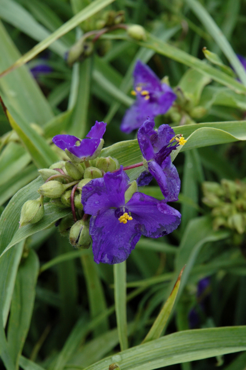 Spiderwort, Zwanenburg Blue