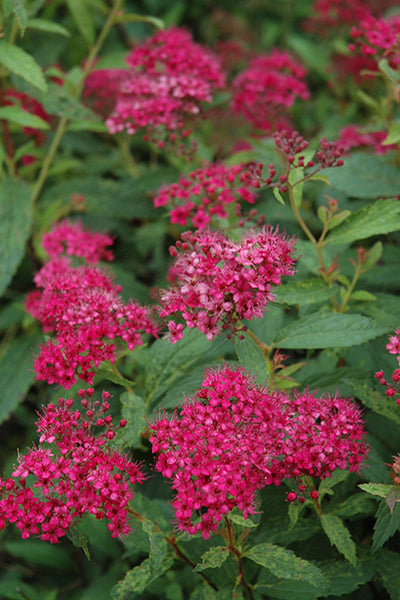 Spirea, Neon Flash