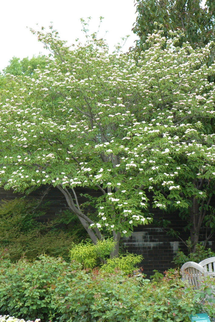 Dogwood, Stellar Pink Flowering