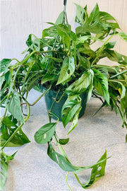 Monstera Adansonii, Swiss Cheese Vine Hanging Basket 8""