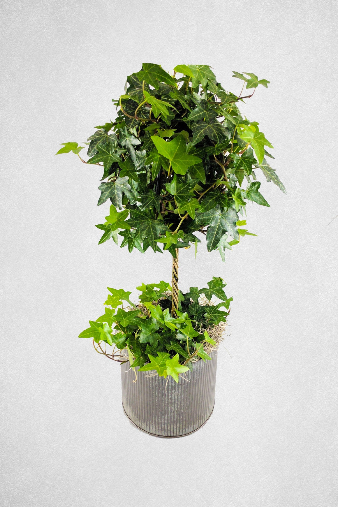 Custom Ivy Topiary in Tin