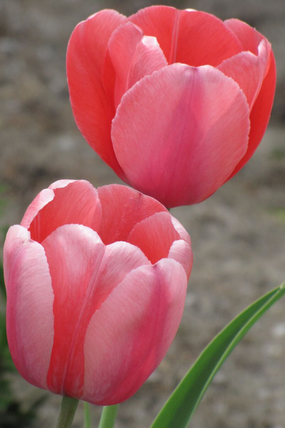 Tulip, Pink Impression Bulbs