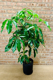 Umbrella Tree 10""