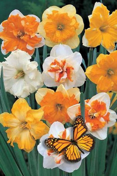 Narcissus, Butterfly Bulbs 8-pack