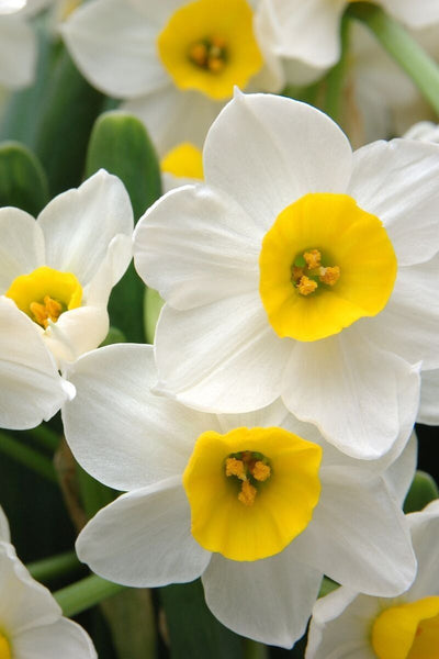 Daffodil, Holland Sensation Bulbs 6-pack