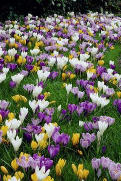 Crocus, Jumbo flowering Mixture Bulbs 20-pack
