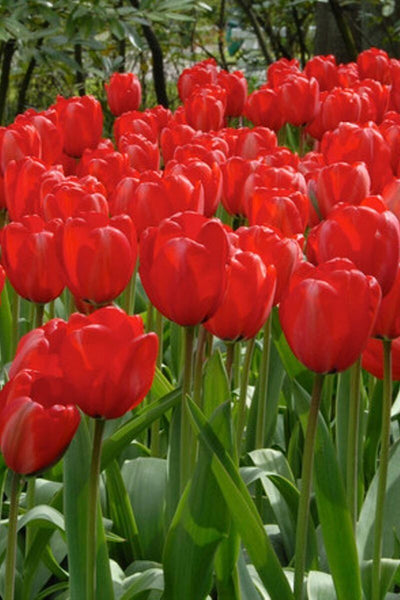 Tulip, Red Impression Bulbs